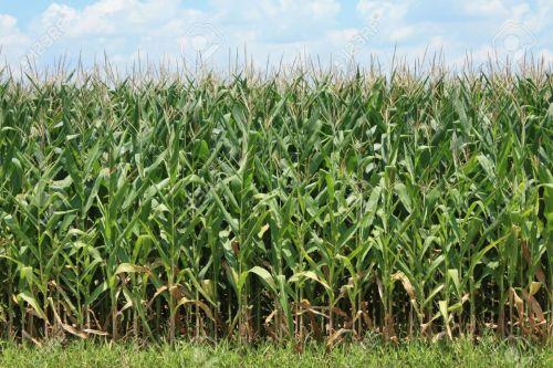 7730023-corn-crop-stock-photo