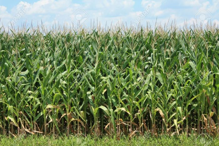 7730023-corn-crop-stock-photo